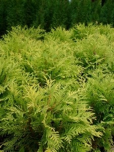 Thuja Golden Globe